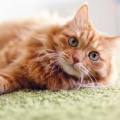Även katter kan drabbas av artros