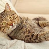 Har katten diabetes? Information om behandling
