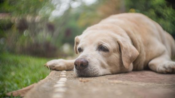 Överviktiga hundar har ökad risk för artros