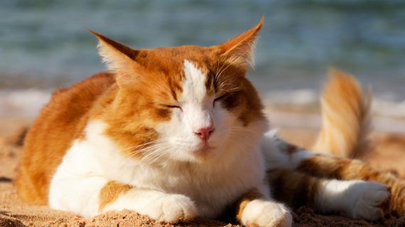 Tycker din katt det är jobbigt när det är varmt? Så här hjälper du din katt att svalka sig.